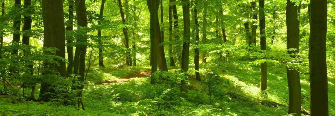 Mystische Buchenwälder